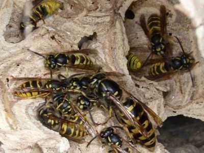 家里有蜜蜂窝 家里有马蜂窝的预兆是什么